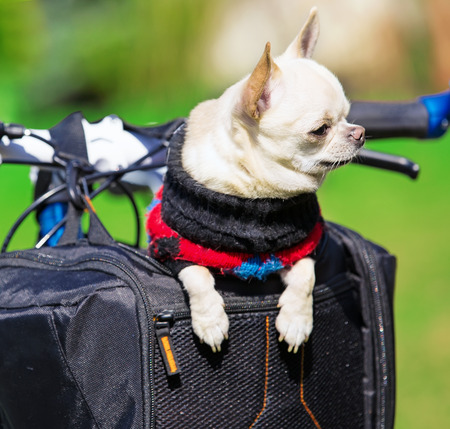 sidecar: small dog in a bicycle basket having good time outdoors Stock Photo