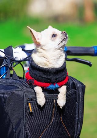 sidecar: funny dog enjoying trip in bicycle bag .