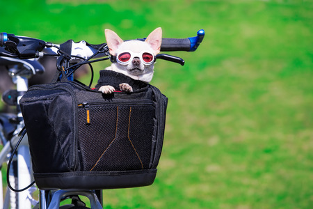 cute small dog in pet basket on bicycle