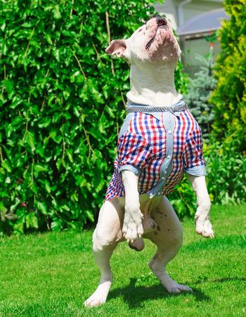 springen hond in een overhemd