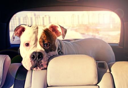 bulldog in the car truck