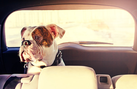 Happy dog travelling in the car boot photo