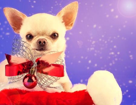 cute westie: chihuahua with red bow and christmas ball sitting in santas hat