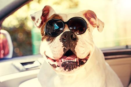funny bulldog in sunglasses in the car photo