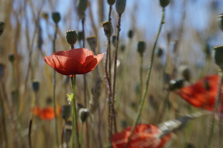 corn poppy (Papaver rhoeas) with blurry background (3) Stock Photo