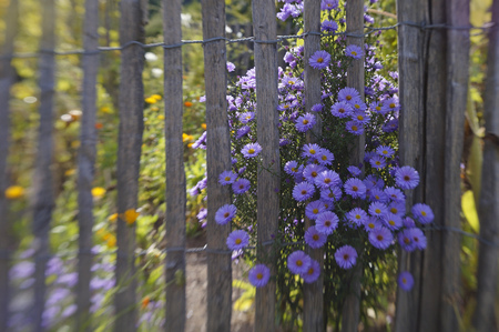 garden fence with purple blossoms Stock fotó
