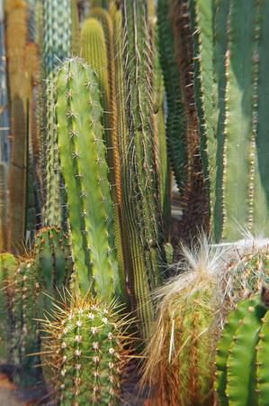 cactus species: cactus