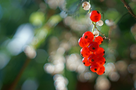 redcurrant in the garden