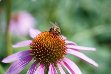 bee on blossom of purple coneflower