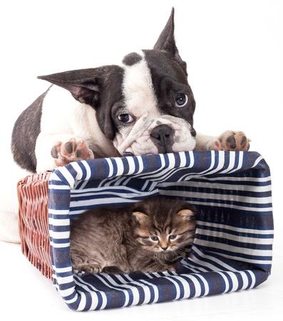 wrinkely: French Bulldog and kitten Stock Photo