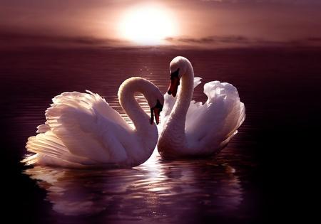 cisnes: cisnes amorosas formando un coraz�n  Foto de archivo