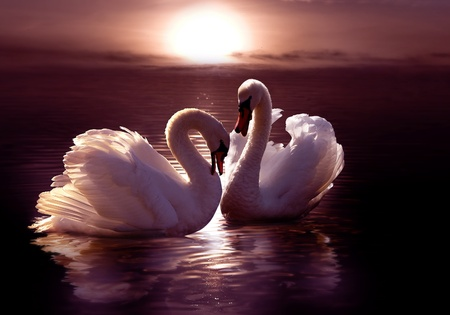 birds lake: loving swans forming a heart