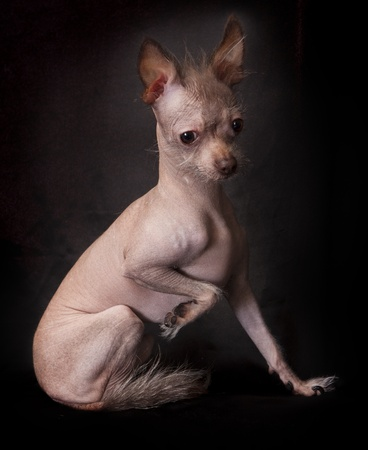 hairless: Mexican Hairless Dog-up
