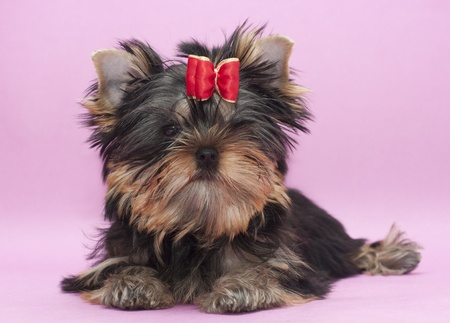 yorkshire terrier Puppy Stock Photo - 8871107