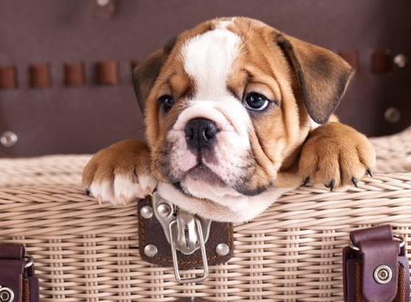 vigilant: english Bulldog puppy  Stock Photo