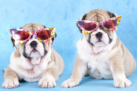 stitting: english Bulldog puppy in sunglasses