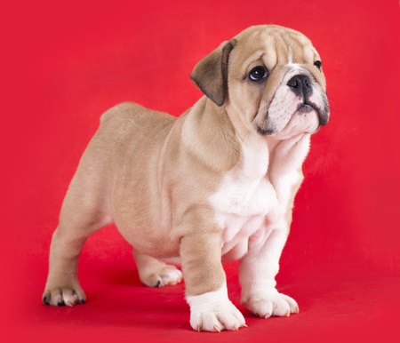 stitting: english Bulldog puppy  Stock Photo