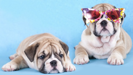 vigilant: english Bulldog puppy in sunglasses