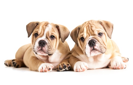 stitting: english Bulldog puppies