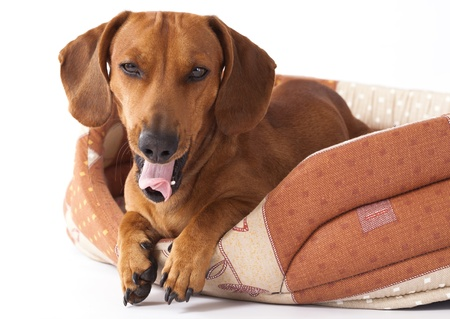 dog dachshund yawns in pet bed  Stock Photo