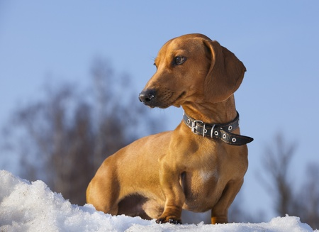 dog dachshund photo
