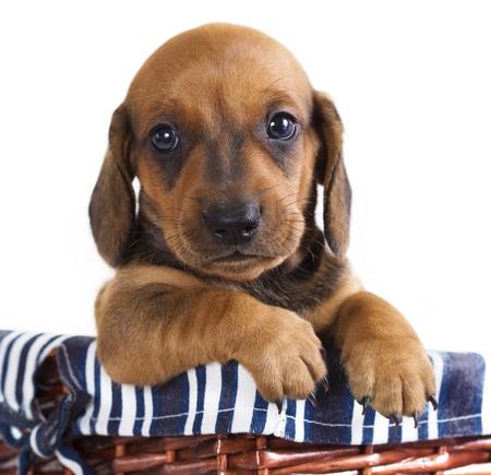 small basket: dachshund puppy