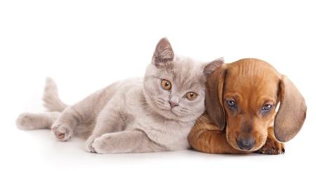 chiot et chaton: British chaton rare de couleur (mauve) et le chiot teckel rouge