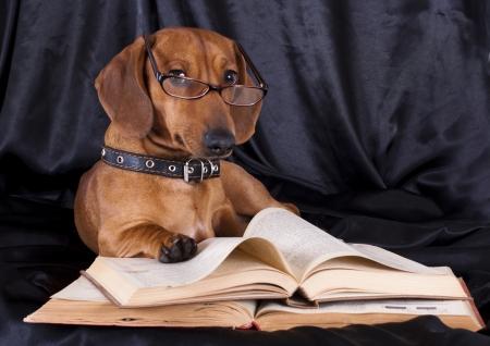 dachshund:  puppy purebred  dachshund