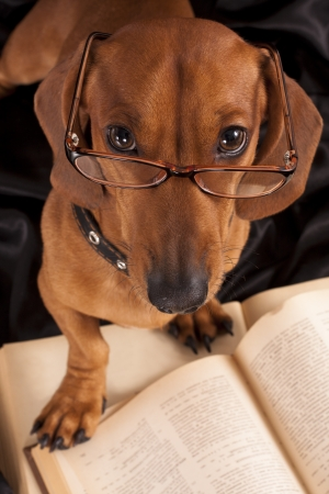 miniature people:  puppy purebred  dachshund