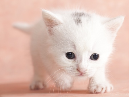 purebred cat: kitten Stock Photo