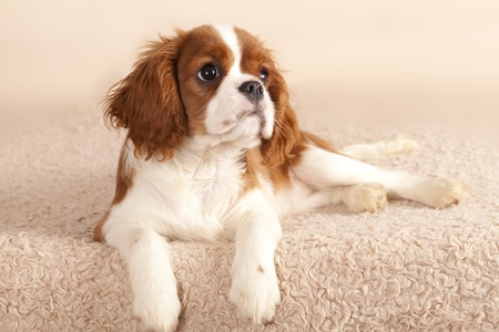 Cavalier King Charles Spaniel puppy  photo