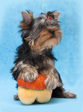 Yorkshire Terrier puppie  photo