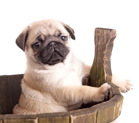adorable: pug purebred puppy Stock Photo