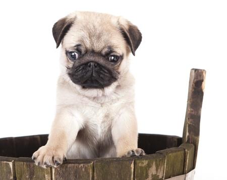 mops: pug purebred puppy Stock Photo