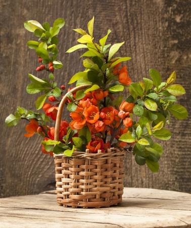 boeket bloeiend kweepeer en het blad groen, appelbloesem