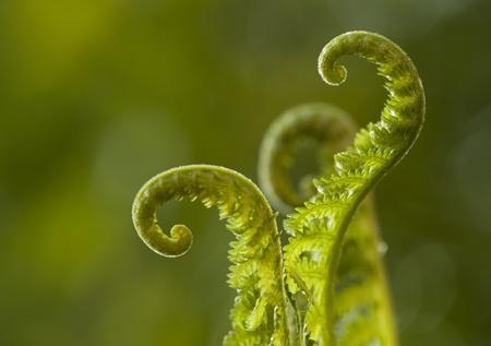 spiral fern  photo