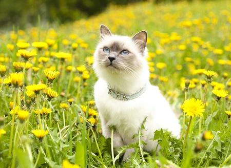 british pussy: cat birma