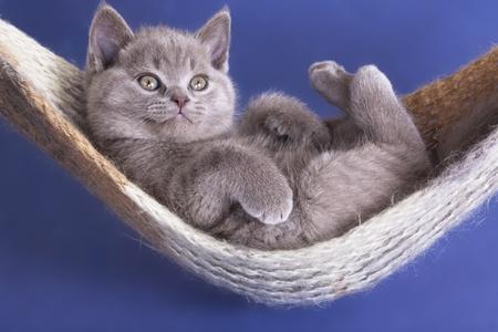 british pussy: sleeping kitten