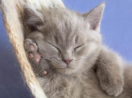 イギリスの子猫 写真素材