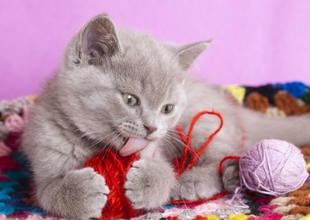 animal pussy: British kitten Stock Photo