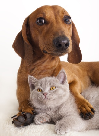 dog cat: British kitten and dog dachshund