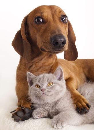 small white dog: British kitten and dog dachshund