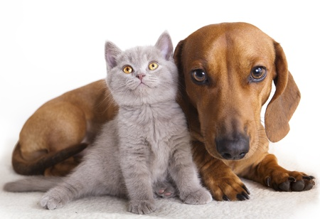 dog and cat: British kitten and dog dachshund