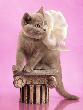 british shorthair: British kitten rare color (lilac)