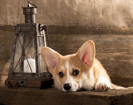カーディガン コーギー子犬