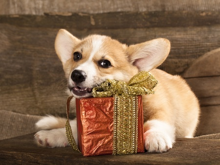 Cardigan Welsh Corgi Dog Breed and New Year 版權商用圖片