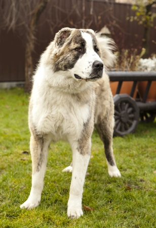 central asia shepherd dog: Central Asian Shepherd Dog