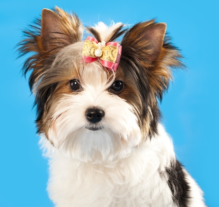 pampered pets: biewer  dog Stock Photo
