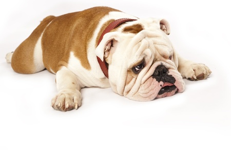 bored face: english Bulldog