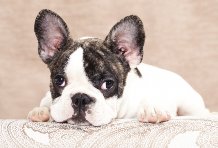 dog grooming: french bulldog puppy